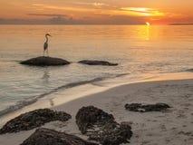 Heron on rock at beach at sunset. Great white heron fishing from rock at white sand beach at sunset at Bahai Honda Key, Florida Stock Photo