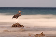 Heron on rock looks out to blurry sea, Sulawesi. stock photography