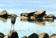 Heron on the Rocks Royalty Free Stock Photography
