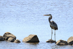 Heron on the Rocks Stock Photos
