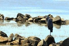 Heron on the Rocks Stock Photography