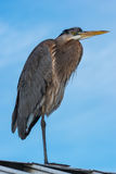 Heron on the Roof Stock Images