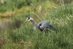 Heron runffles its feathers. Royalty Free Stock Photo