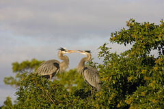 A Heron's disagreement. A mating pair of Great Blue Herons having a family disagreement Royalty Free Stock Images