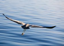 Heron's flight Royalty Free Stock Photography