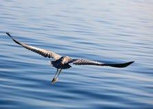 Heron's flight Royalty Free Stock Photography