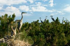 Heron's nest colony Royalty Free Stock Photography