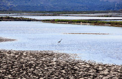 Heron in the Salt evaporation ponds in Secovlje Stock Photo