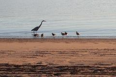 Heron and sandpiper birds at edge of ocean beach Royalty Free Stock Image