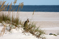 Heron on sandune Royalty Free Stock Images