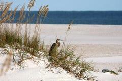 Heron on sandune Royalty Free Stock Images
