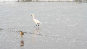 Heron on a sea beach. Heron on a tropical sea beach stock footage