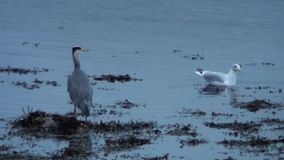Heron and Seagull feeding on the edge of a Scottish Loch. stock video footage