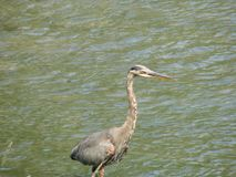 Heron. Searching for food walking in water Stock Images