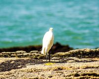Heron on the seashore. A heron by the sea in a photograph captured on the beach of Guarapari, in the State of Espírito Santo, Brazil. The herons are the long royalty free stock image
