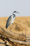 Heron in Serengeti Royalty Free Stock Photography