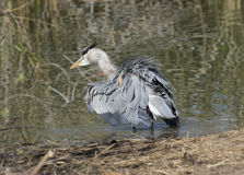 Heron shaking a tail feather Royalty Free Stock Images