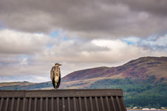 Heron on Shed Roof Stock Image