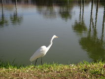 Heron on the shore of a lake Royalty Free Stock Image