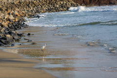 Heron on the shore of the ocean Stock Photography