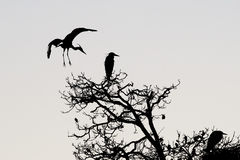 A heron silhouette in black and white Stock Image