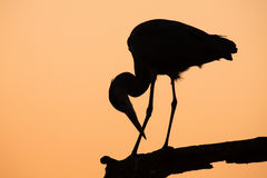Heron silhouette in the early morning on branch Royalty Free Stock Image