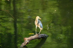 Heron siting on a brunch of tree Royalty Free Stock Images
