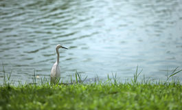 The heron Royalty Free Stock Images