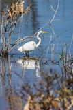Great white heron Royalty Free Stock Photo
