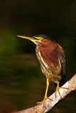 Heron sitting on the branch with river. Green-backed Green Heron, Butorides virescens, in the nature. Heron in the dark tropic for Royalty Free Stock Images