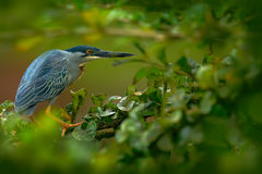 Heron sitting on the branch with river. Striated Heron, Butorides virescens, in the nature. Heron in the dark tropic forest. Heron Royalty Free Stock Image