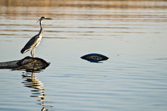 Heron sitting on a fishing nets on a water in Poland. Heron sitting on a fishing nets on a water in Poland royalty free stock images