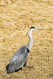 A heron sitting on grass Royalty Free Stock Photo
