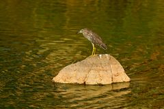 Heron sitting on the rock cost. Heron sitting on the stone. Night heron, Nycticorax nycticorax, grey water bird sitting in the sto. Ne Stock Image