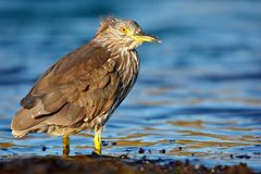 Heron sitting on the rock cost. Heron sitting on the stone. Night heron, Nycticorax nycticorax, grey water bird sitting in the sto. Ne Stock Images