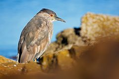 Heron sitting on the rock cost. Heron sitting on the stone. Night heron, Nycticorax nycticorax, grey water bird sitting in the sto. Ne Royalty Free Stock Photos