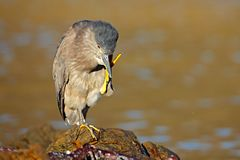 Heron sitting on the rock cost. Heron sitting on the stone. Night heron, Nycticorax nycticorax, grey water bird sitting in the sto. Ne Royalty Free Stock Images