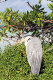 Heron sitting on tree Royalty Free Stock Image