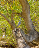 A heron sitting on a tree trunk in the windward islands Royalty Free Stock Image