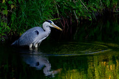 Heron with a small catch Royalty Free Stock Photo