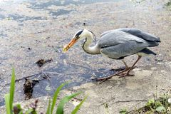 Heron With small Fish. Blue Heron grabbed a small fish with a beak royalty free stock images