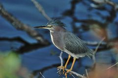 Heron. The small green heron perching over water Stock Photo
