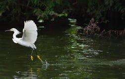 heron som lyfter av white Arkivfoton
