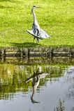 Heron speading its wings stock images