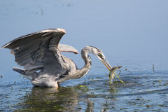 Heron spear fishing. Great Blue Heron catching a Spotted Sand Bass in the river channel Stock Image