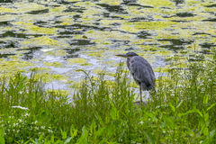 Heron in St. James Park, London, England Stock Photo
