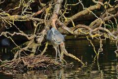Heron stalking. Grey heron amongst tangled roots of willow tree at lakeside Stock Photo