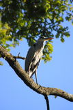 Heron. A heron stand on a tree Royalty Free Stock Photos