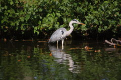 Heron. A heron stand in water Royalty Free Stock Photos