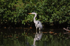 Heron. A heron stand in water Royalty Free Stock Images